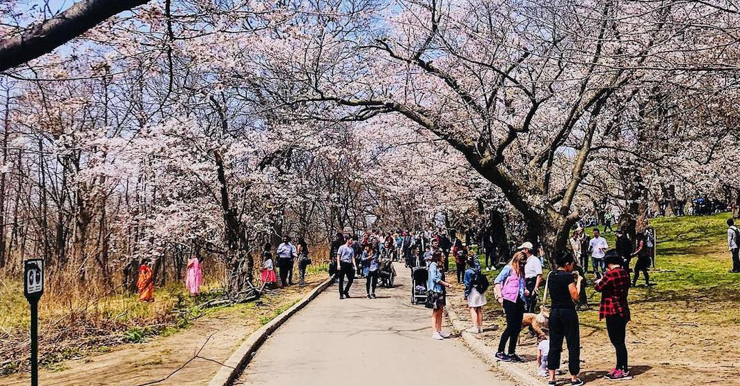 The best days to see the High Park cherry blossoms