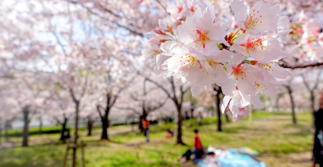 Magical cherry blossom tree picnic happening in Montreal this month