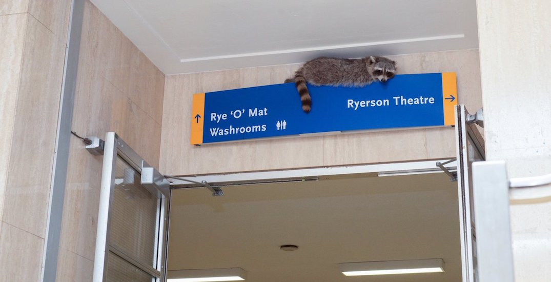 Raccoon forced Ryerson swimming pool to close this morning