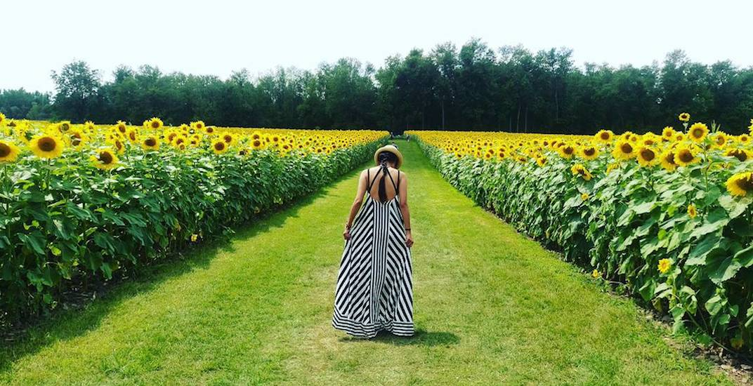 This stunning sunflower farm will bloom for the first time in 3 years (PHOTOS)