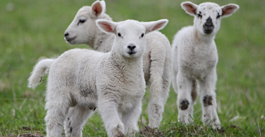 You can now visit these adorable sheep at the Montreal Botanical Garden