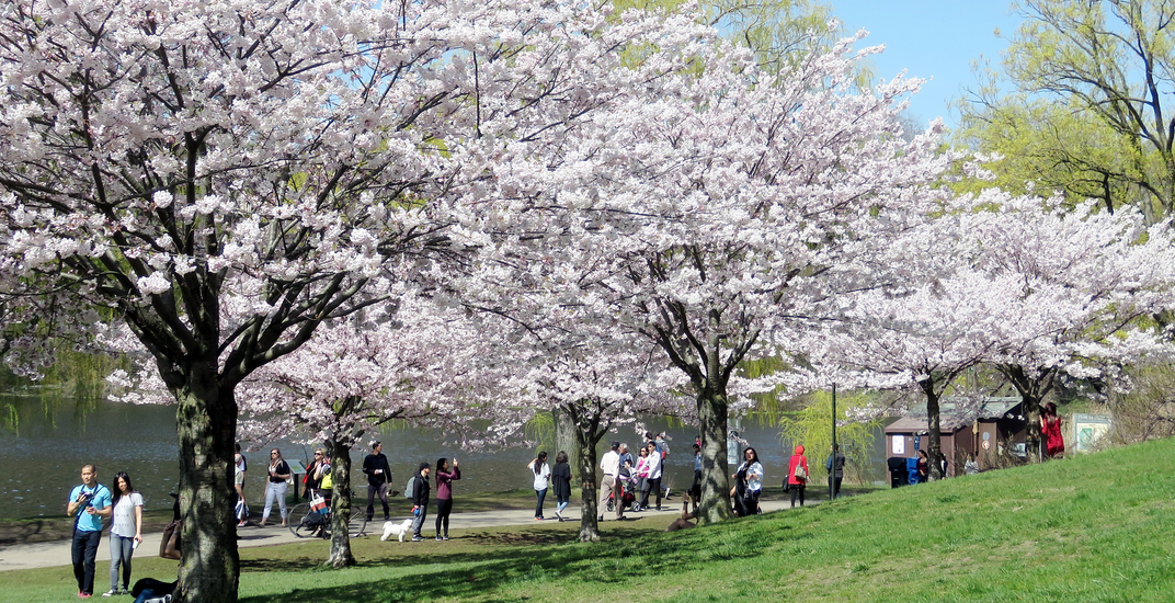 Toronto's High Park to close tomorrow for duration of cherry blossom bloom  period | News