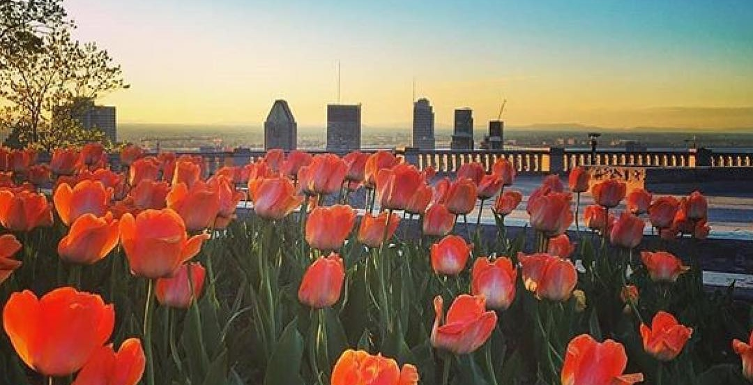 See the tulips in full bloom at the top of Mont Royal