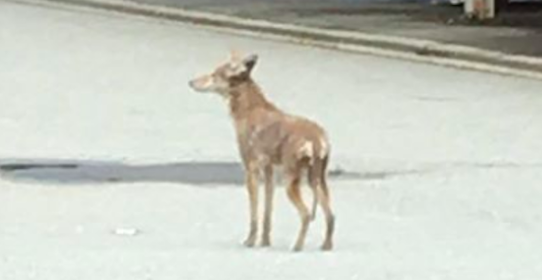 Coyote killed in Burnaby after attacking and injuring boy