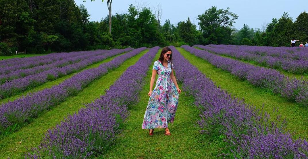 Ontario's largest lavender farm announces massive expansion plans