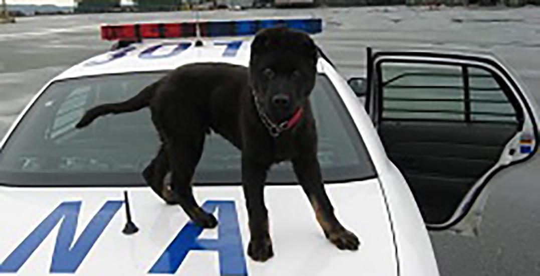 Boomer, German Shepherd police dog retires from RCMP
