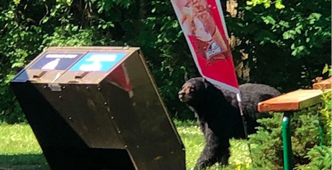 Wandering bears close down part of Metro Vancouver park