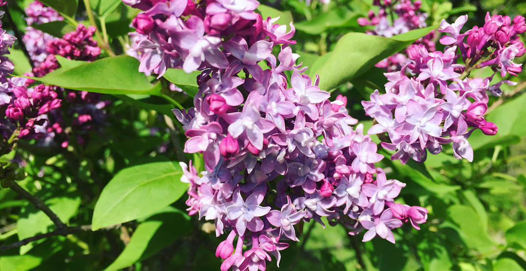 World-renowned lilac collection reaches full bloom at this garden near Toronto (PHOTOS)