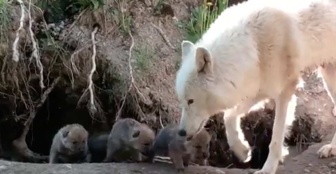 Adorable wolf pups spotted emerging from their den at Toronto Zoo (VIDEO)