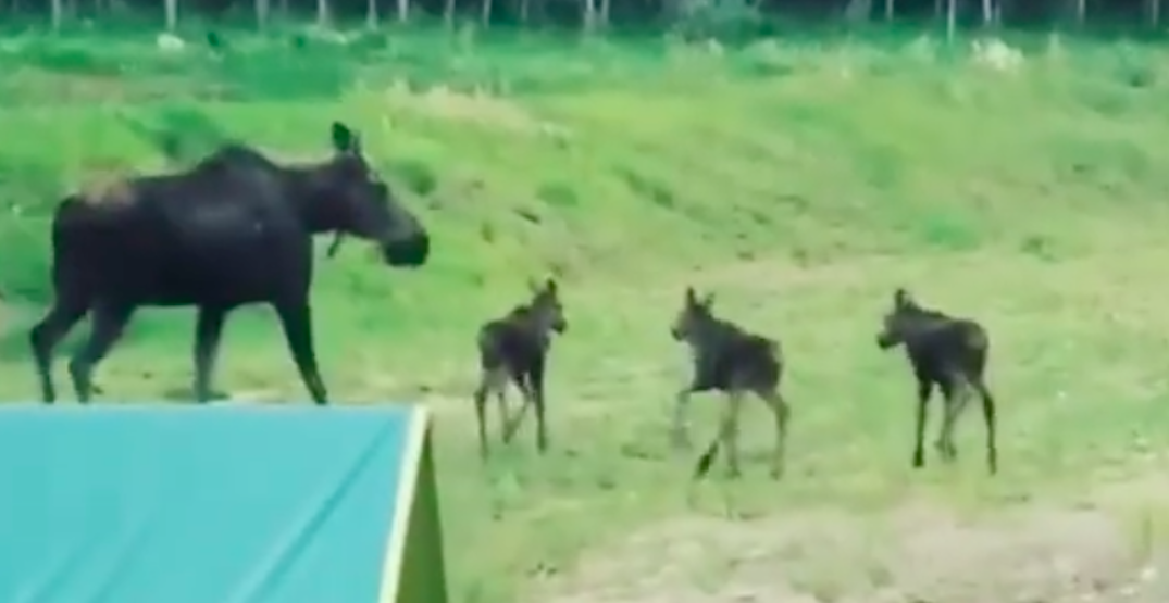 Moose momma and triplets stroll through Alberta woman's yard (VIDEO)