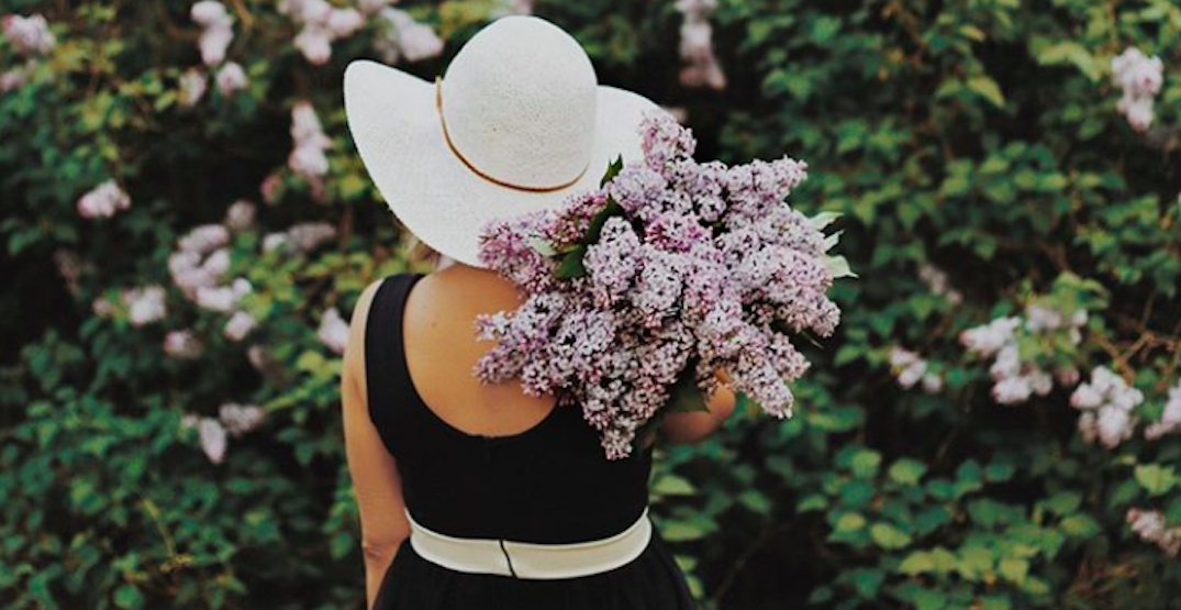 14 photos of Calgary lilacs looking absolutely stunning