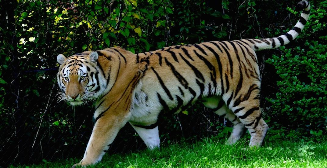 Endangered Amur tigers return to Toronto Zoo this summer