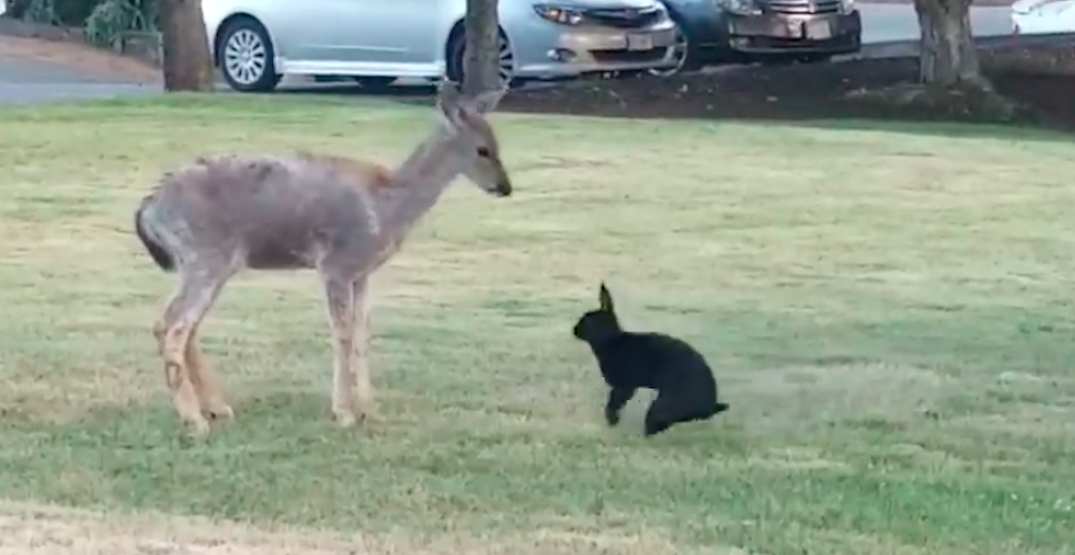 Real-life 'Bambi' moment takes place on Vancouver Island (VIDEO)