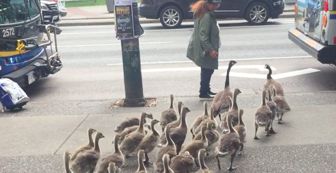 Watch this woman lead a flock of geese across a busy Vancouver street (VIDEO)
