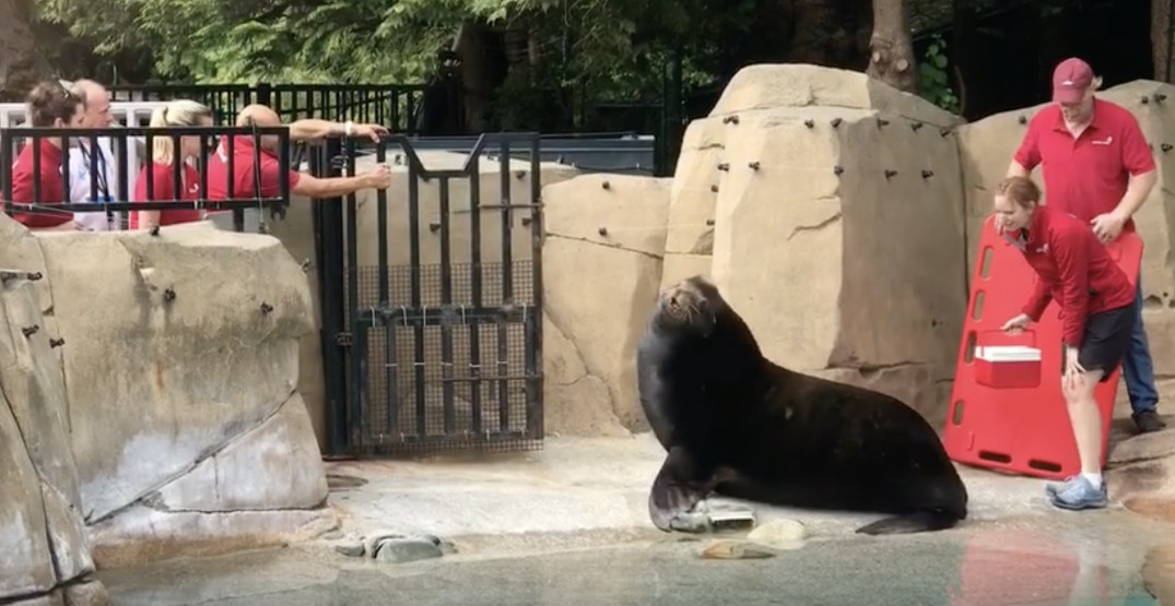 Blind sea lion wounded by gunshots finds home at Vancouver Aquarium (VIDEO)