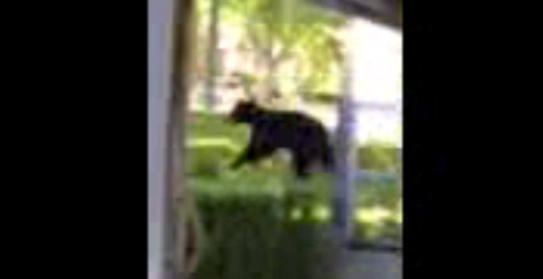 Bears spotted running through PNE fairgrounds (VIDEO)