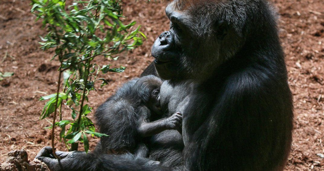 The Toronto Zoo has a new baby gorilla and it's cute AF