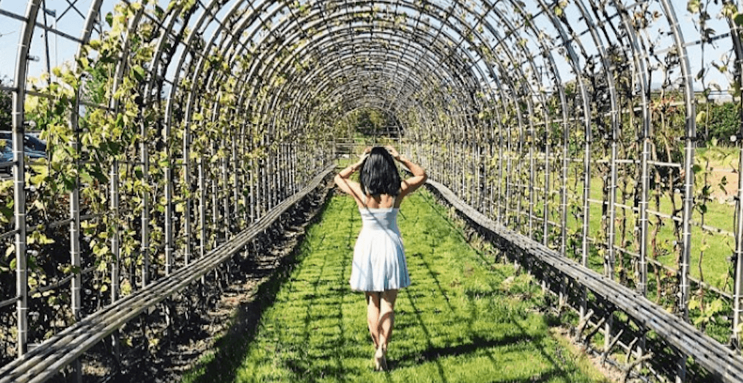 You can walk through a 'Grape Tunnel' at this Metro Vancouver winery