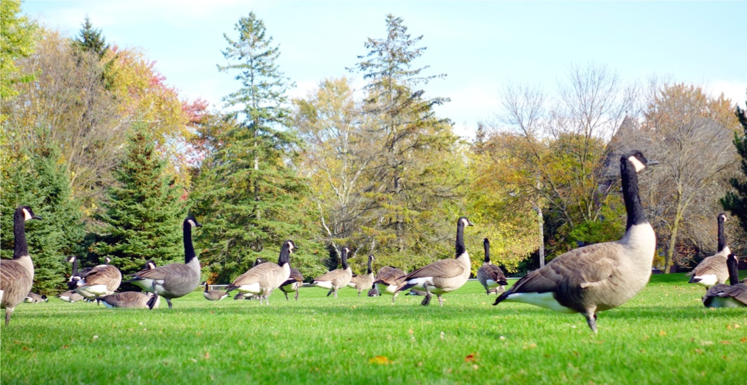 There's a $10,000 reward for information on the decapitated geese investigation