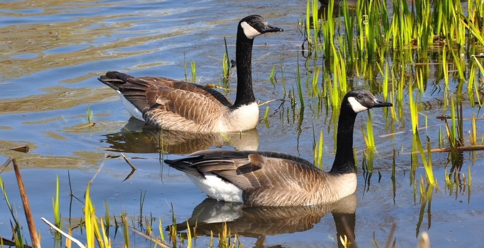 Lightning strike probable cause of 50 dead geese