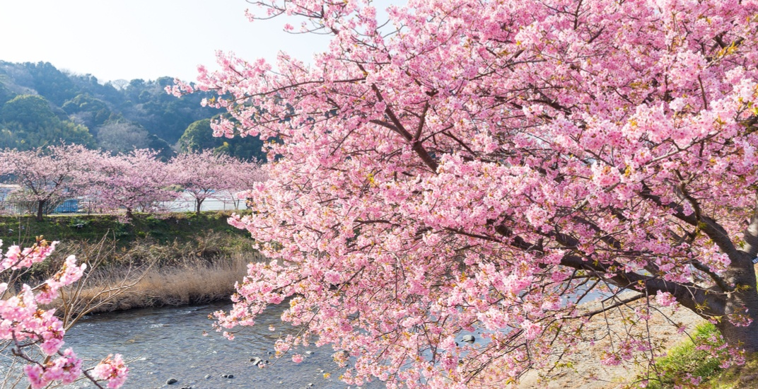 80 beautiful new Sakura trees have been planted in Markham