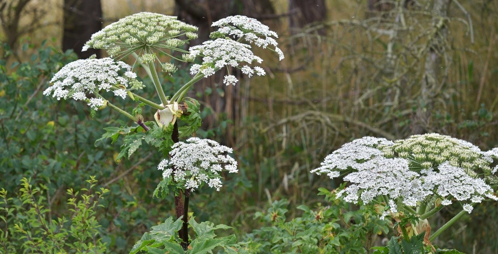 Nature Conservancy of Canada warns against dangerous plant spotted in Quebec