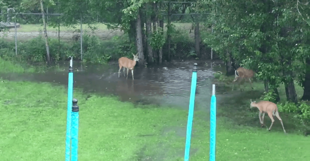 These deer playing around a puddle in Ontario will make your Monday (VIDEO)