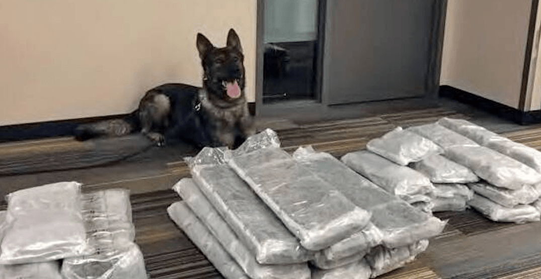 Police dog finds 50 pounds of pot in traveller's bags at YVR Airport