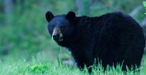 coquitlam bear