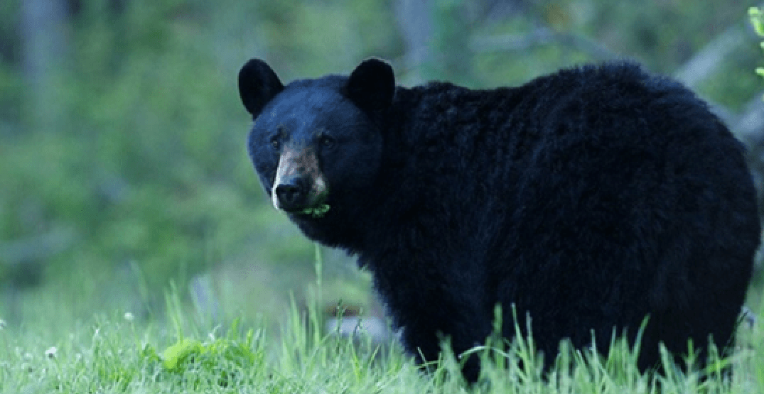 Bear activity prompts areas of Coquitlam park to close