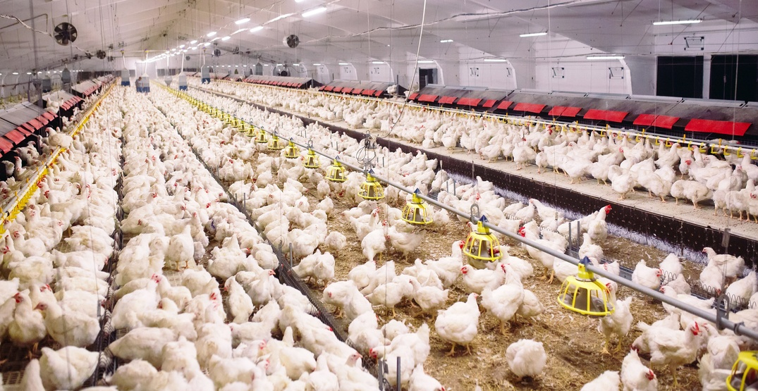 BC SPCA investigations more allegations of cruelty at Fraser Valley chicken farm