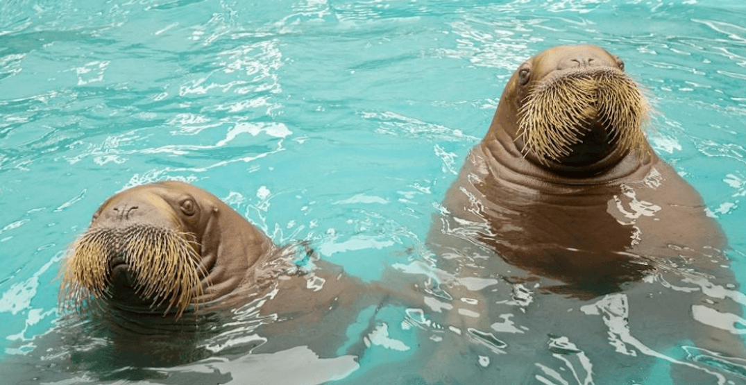 Two young walruses have just moved to the Vancouver Aquarium