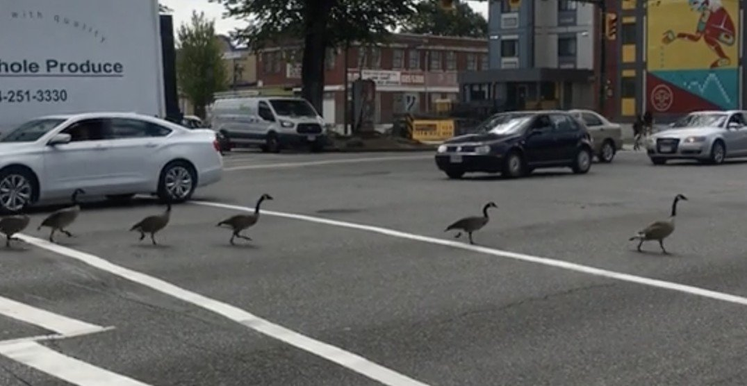 Watch this flock of geese stop traffic on a busy Vancouver street (VIDEO)