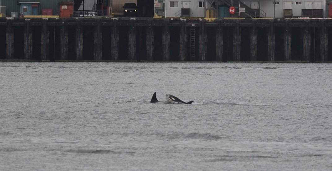 Vancouver orca killer whale orcas killer whales sighting june 28 2018 1