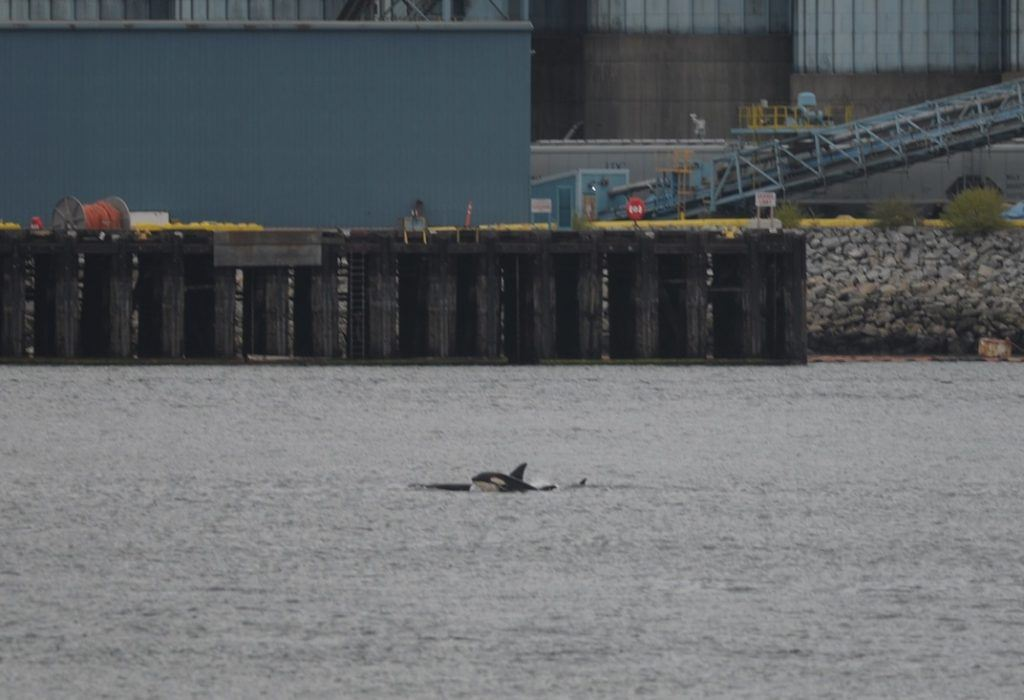 Orca Sighting Vancouver