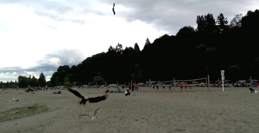 Crows attack bald eagle for hunting seagull at Spanish Banks (VIDEO)