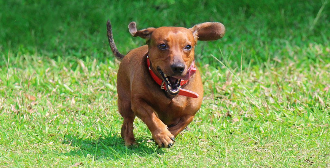 Wiener dog runninghastings racecourse