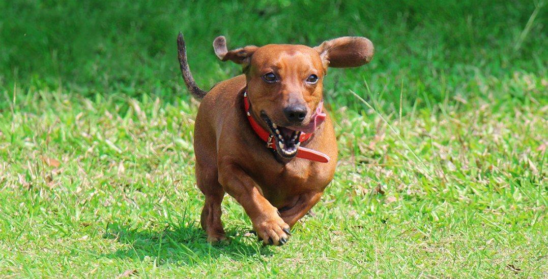 Wiener dog runninghastings racecourse