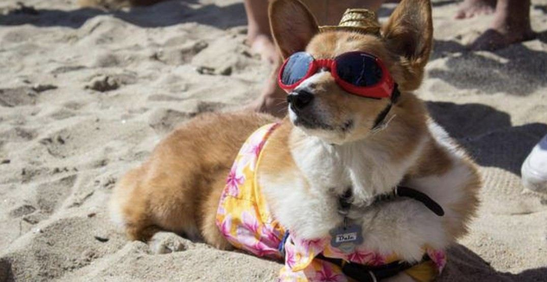 An adorable corgi beach party is happening in Vancouver this weekend