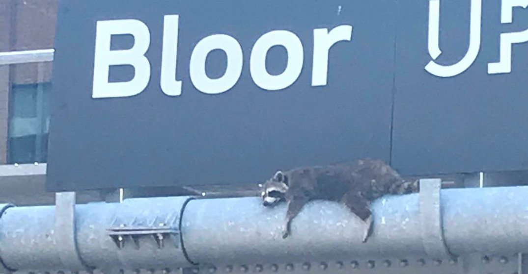 Even the raccoons are over the heat in Toronto (PHOTO)