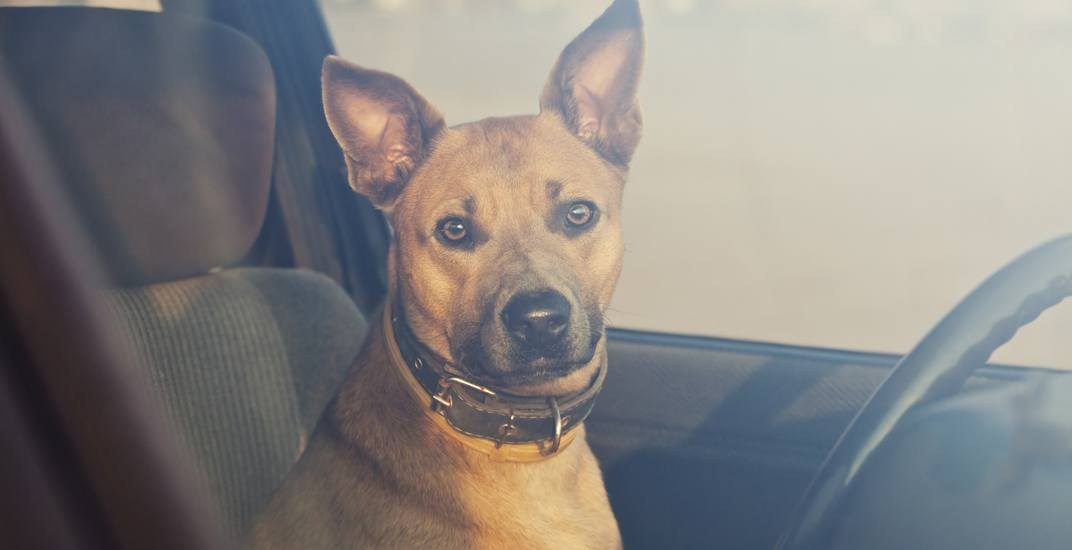 Here's what to do if you find a dog trapped in a hot car this summer