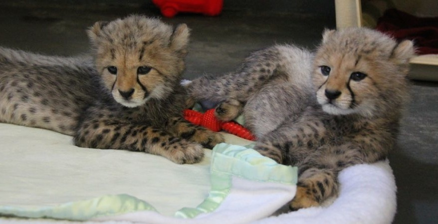 This zoo south of Montreal is now home to four new baby cheetahs (VIDEO)