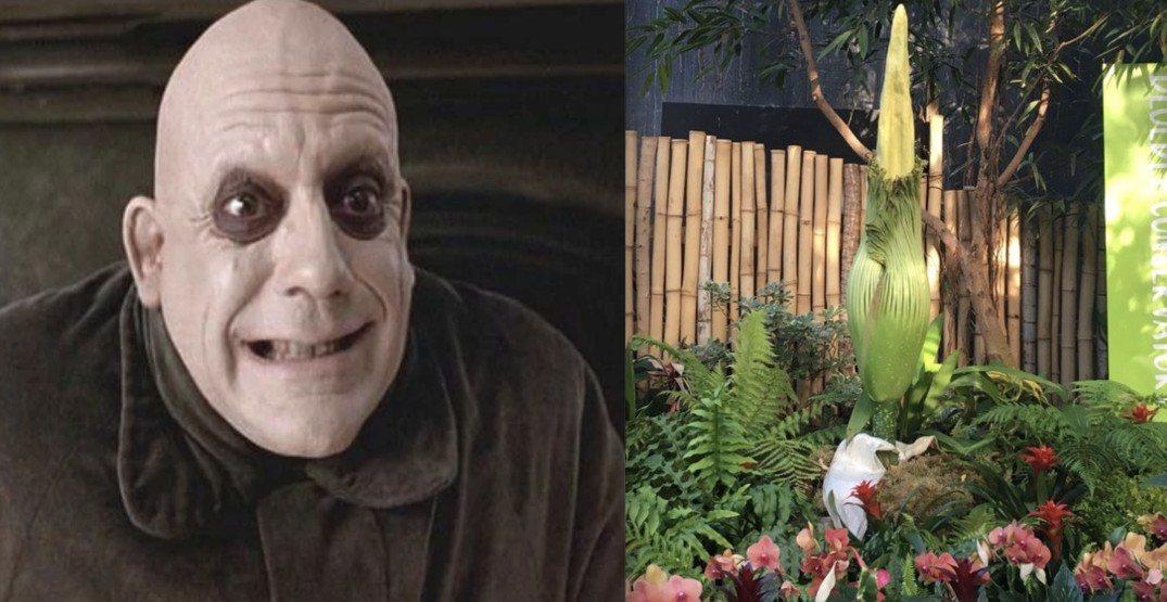 Meet Uncle Fester: Vancouver's stinky corpse flower gets an official new name