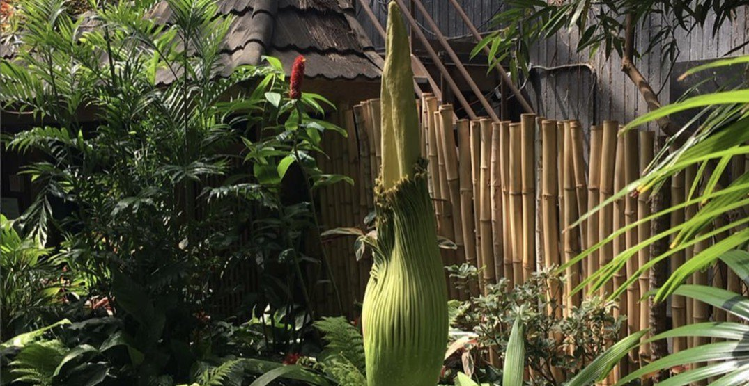 Goodbye Uncle Fester: Vancouver corpse flower's stench is no more