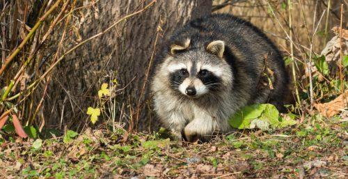 raccoon capital