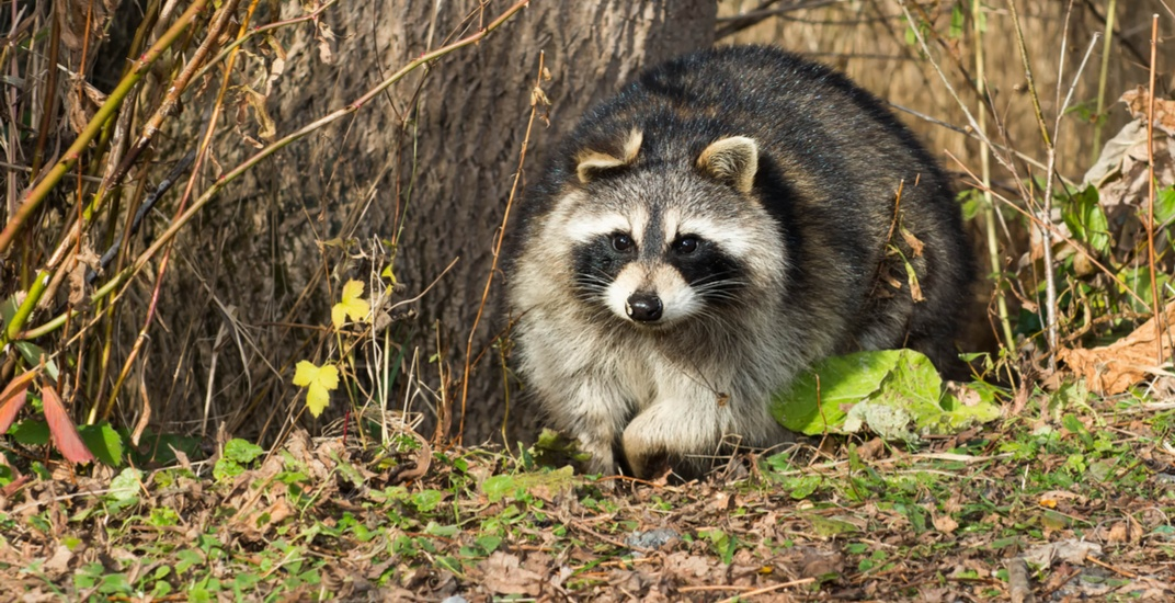 Toronto's raccoons are becoming diabetic and it's our fault