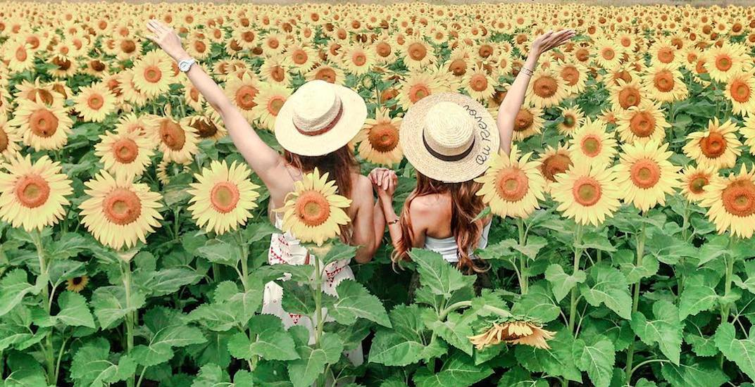 The Fraser Valley's gorgeous new sunflower festival opens today