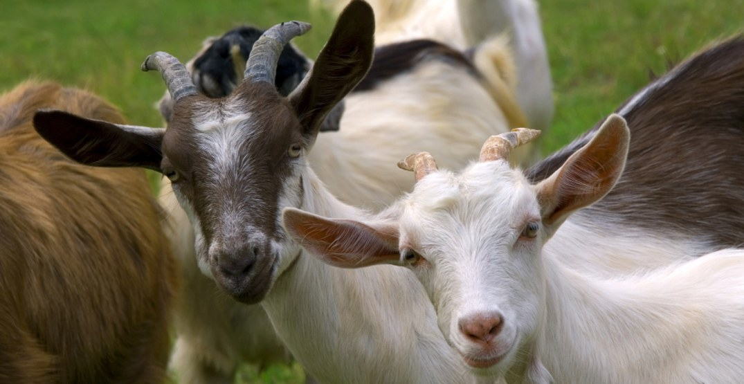 Calgary has hired 133 goats for weed management and grounds maintenance