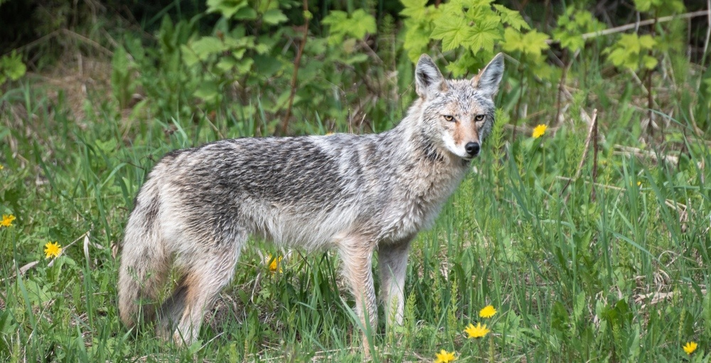 Montreal mayor urges citizens to stop taking selfies with coyotes