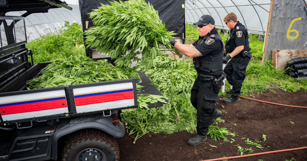 York police raid licensed grow-op north of Toronto in a $6 million bust (PHOTOS)